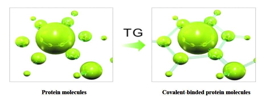 Transglutaminase/(tg Enzyme)
