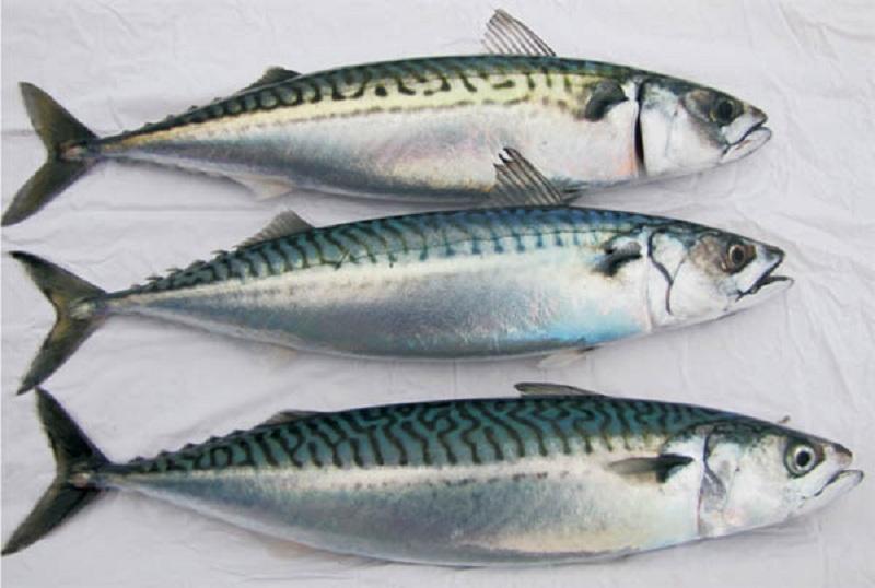 Cá Thu nguyên con – Hải Sản Biển Việt