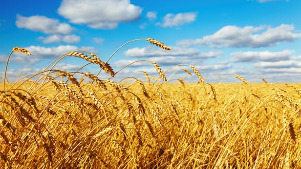 Lúa mì amylose cao chứa hàm lượng chất xơ gấp 10 lần | Vien Khoa Hoc Ky  Thuat Nong Nghiep Mien Nam