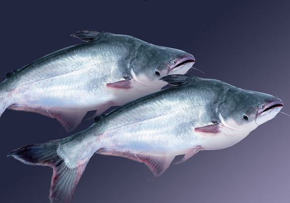 Cá Basa - Đặc điểm Sinh Học Và Mô Hình Nuôi Cá Basa Cho Năng Suất Cao - Báo  Khuyến Nông