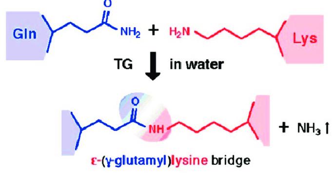 Reaction mechanism of transglutaminase (TGase;...   Download Scientific  Diagram