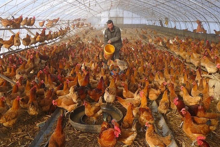 Người nuôi gà điêu đứng vì virus corona