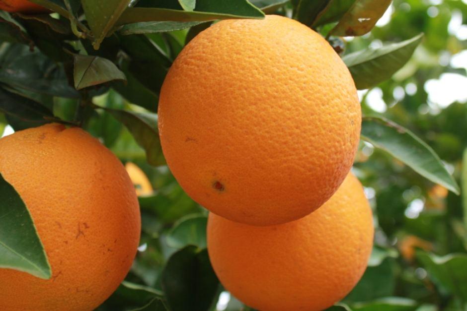 Cam quýt Australia xuất khẩu sang Việt Nam gặp trở ngại | baotintuc.vn